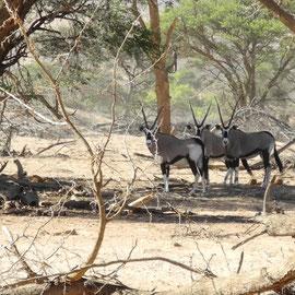 Oryx-Antilopen halten erstaunt inne