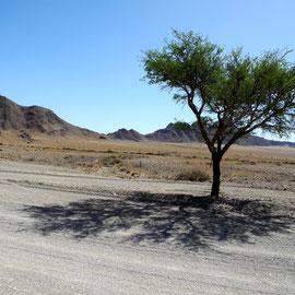 Kameldornbäume haben ordentliche Dornen, weshalb man nicht unter ihnen parken sollte