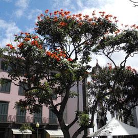 Schöne Bäume mit roten Blüten in der ganzen Stadt