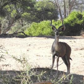 Eine Kudu-Antilope mit sehr schönem Hals und gedrehtem Gehörn