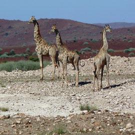 Auf unserem Weg - ziemlich zu Anfang - treffen wir auf eine kleine Herde Giraffen. Wunderschöne, muskulöse Tiere.