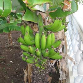 Leider konnte ich keine Banana mopsen, weil sie noch nicht reif sind - für die EU sind sie zu klein, aber mir schmecken sie!
