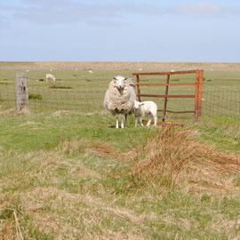 Lister Schafe