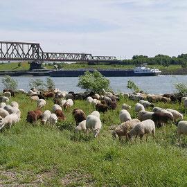 Pachtschäferei, Heidschnuckenherde am Rhein, Bereich D Rheinaue Aufnahme-Datum: 07.06.2019