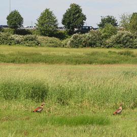 Nilgänse an Senken, Bereich D Rheinaue, Aufnahme-Datum:07.06.2019