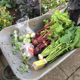Produce from Capel College allotment