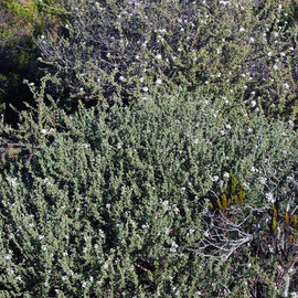 Wild Rosemary (Eriocephalus africanus) -'Kapokbossie'  - brandy-based infusions were traditionally used as a diuretic