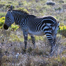 The other side of the zebra with missing tail and stitched-up injuries