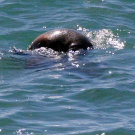Fur seal cartwheeling down the Papanui inlet on an incoming tide