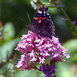 And with Red Admiral