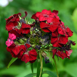 Sweet William - bought in as plants and great value