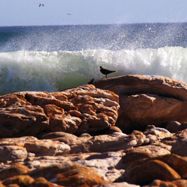 Rocks and Cape Oystercatcher and crashing wave near Olifantbos