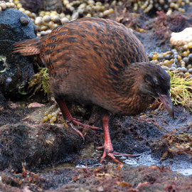 The beautiful chesnut plumage of the weka.