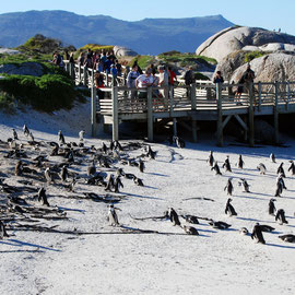 Penguin watching at the Boulders Colony