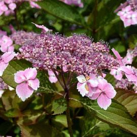 Butterfly hydrangea?