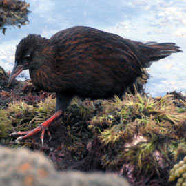 The Stewart Island Weka, like the other weka sub-species is omnivorous with a diet comprising 30% animal foods and 70% plant foods.