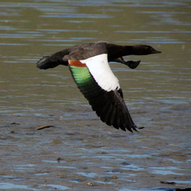 Male Paradise Shellduck in flight