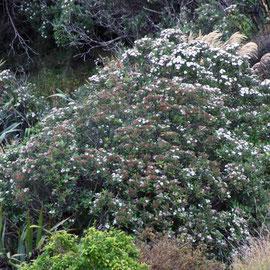 Olearia avicenniifolia ?