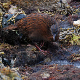 The weka has a handy sharp beak and big red feet.