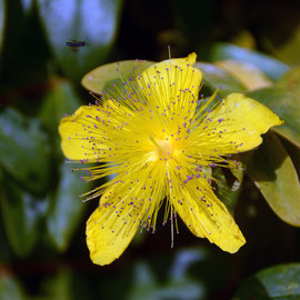 Hypericum perforatum -  St John's wort