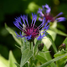 Centauri Montana - or Perennial Cornflower - from mountain zones in Southern Europe.