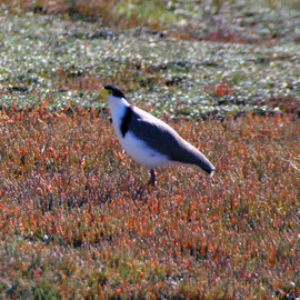 Spur-winged plover and samphire (salicornia australis)
