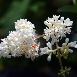Privet blossom  - the evergreen one