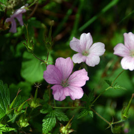Our big ground cover geranium that is very hardy, comes back well after clipping and flowers again