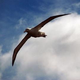 Royal Albatross, Otago Peninsula
