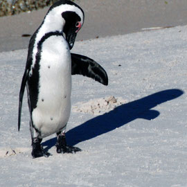 The black arc on the chest is characteristic of African Penguins