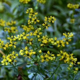 Rue flowers