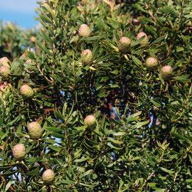 Cone Bush (Leucadendron)