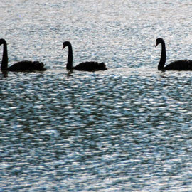 Black Swans prefer aquatic plants but have been forced to graze more on lakeside plants. 7,000 are shot per year as a legal gamebird