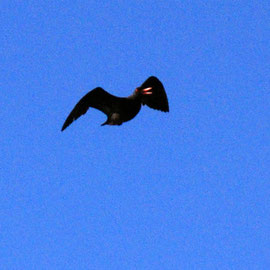 African Black Oystercatcher in flight near Olifants Bay, Cape Peninsula