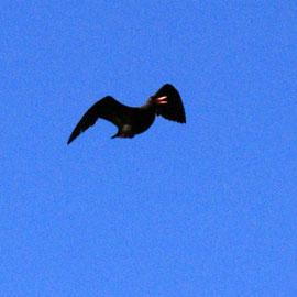 African Black Oystercatcher in flight near Olifants Bay, Cape Peninsula
