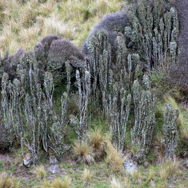 Divaricate shrubs and silver tussock