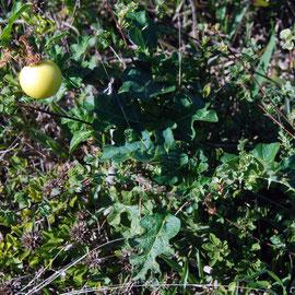 Bitterapel (Solanum Linnaeanum)