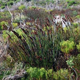 Fynbos plants: restio