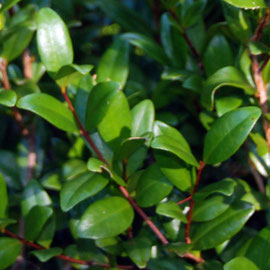 Southern Rata foliage - long pointed leaves that are very shiny on the upper surface.