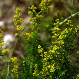 Lady's bedstraw - from seed