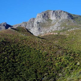 Fynbos on west side of the Cape above Chapman's Peak