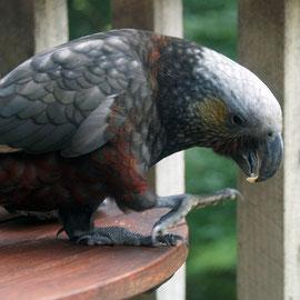 Kaka (Nestor meridionalis)