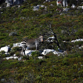 Cape Zebra on the Olifantbos Bay road