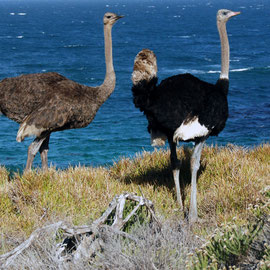 Male and Female Ostrich