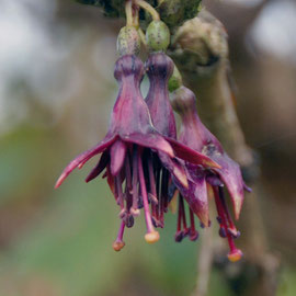 Fuchsia excorticata: three last blossoms