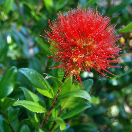 Southern Rata flower - 'umbellata' meaning an umbrella shaped group of flowers originating from a single stem.