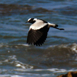 Blacksmith Lapwing or Plover at Stony Point.  Called a 'blacksmith' because of its 'tink tink', alarm call