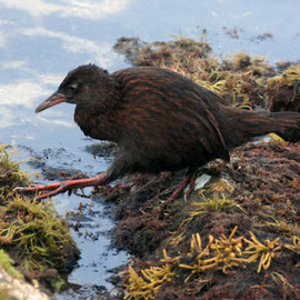 The Stewart Island Weka - a sturdy, curious and large rail.