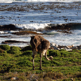 Femal ostrich near Maclear Beach and Cape of Good Hope