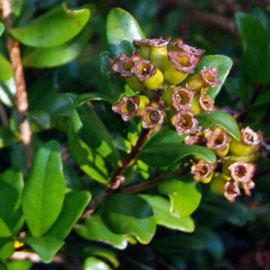 Southern Rata - fruits forming.